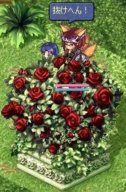 硬ったい薔薇やな